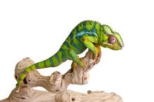 Kolorowe kameleon (5)