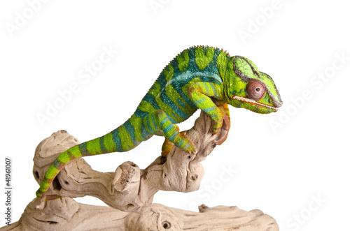 Foto op Canvas Kameleon Colorful chameleon (5)