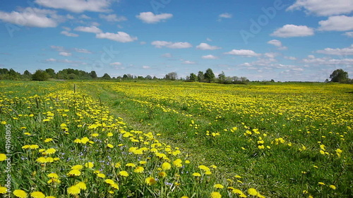 Rural landscape with road in the dandelion field