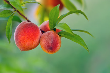 Peaches hanging on a branch