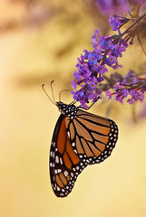 Monarch butterfly on purple butterfly bush flowers