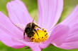 Macro of honey bee (Apis) feeding on pink cosmos flower