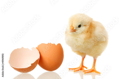 baby chicken and egg on white