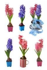 Set pink and biue hyacinths