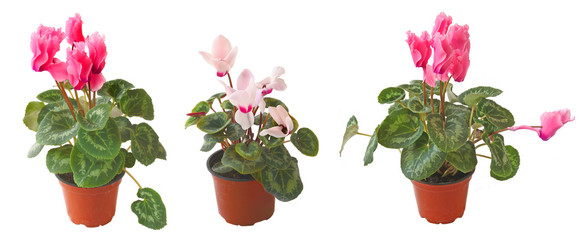 Set cyclamens on a white background is isolated