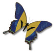 Barbados flag on butterfly
