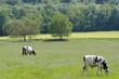 Vaches laitères en ile de France
