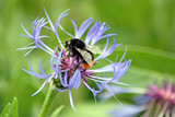 perennial cornflower with a visiting bee