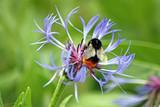 beautiful perennial cornflower with bee
