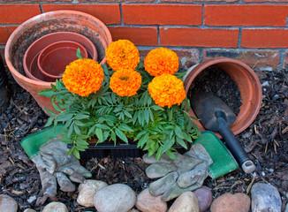 Transplanting Marigolds into pots