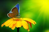 Fototapety Blue butterfly
