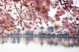 Fototapety Cherry Blossoms over Tidal Basin in Washington DC