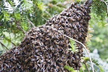 Bienenschwarm an einem Nadelgehölz