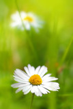 Fototapety Beautiful, soft daisies
