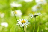 Fototapeta kwiat - biały - Roślinne