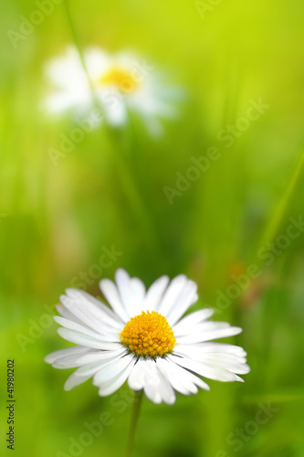Beautiful, soft daisies
