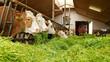 Kühe mit frischem Gras im Kuhstall