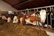 Kühe im Kuhstall bei der Fütterung