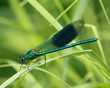 isolated blue winged dragonfly on grass