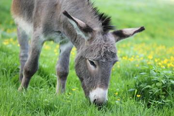 Esel grast auf Frühlingswiese