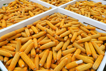 Dried corn background