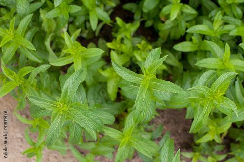 Mint in a garden