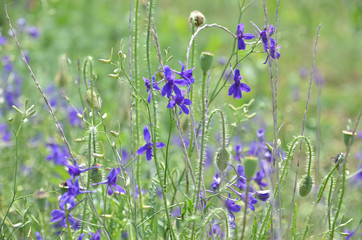 Violet flowers in the meadow, background 3