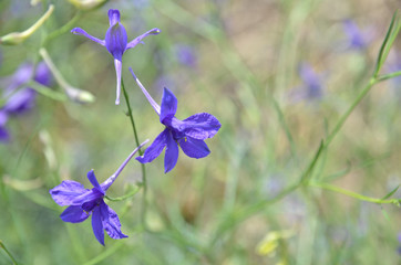 Violet flowers in the meadow, background 1