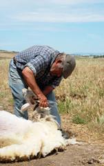 Periodo della tosatura della lana di pecora, in Sardegna