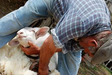 Sardegna, pastore taglia la lana di pecora