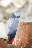 Portrait of an Congo African Grey Parrot