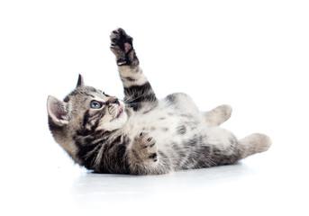 little Scottish black kitten lying on floor