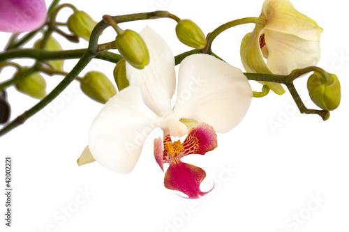 Fototapeten,orchidee,blume,close-up,white background