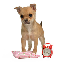 Puppy with alarm-clock and pillow