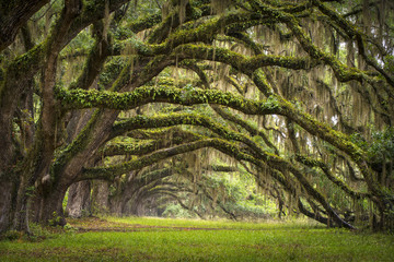 Oaks Avenue Charleston SC plantation Live Oak trees forest © Dave Allen