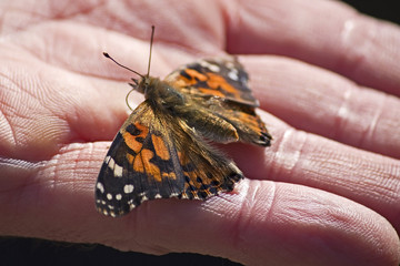 Painted Lady in Hand
