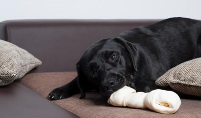 labrador frisst knochen auf der couch 2
