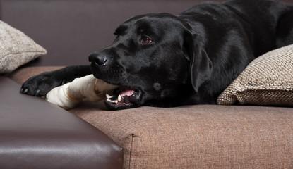 labrador frisst knochen auf der couch