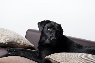 labrador auf der couch 2