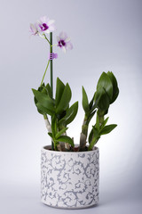 Orchid with rose blossom