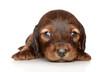Dachshund puppy posing on white background