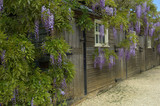 Wisteria at Hidcote Manor Garden, England