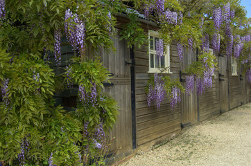 Wisteria at Hidcote Manor Garden, England