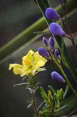 Tasmanian wildflowers, Hibbertia and Comesperma