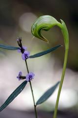 Greenhood orchid, Tasmania, Australia. Pterostylis nutans