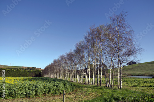 Line of birch trees near canola crop, Tasmania, Australia