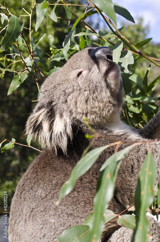 Adult male Koala reaching for eucalyptus leaf