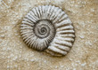 Ammonite fossil in rough stone - 42012031