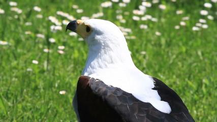 Aguila vocinglera