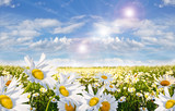 Springtime: field of daisy flowers with blue sky and clouds